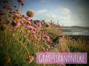 Gras-Strandnelke