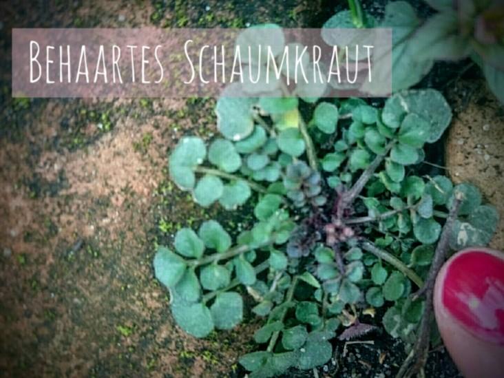 Behaartes Schaumkraut