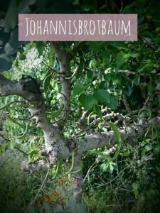 JohannisbrotbaumHvar