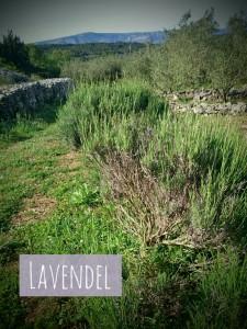 LavendelHvar