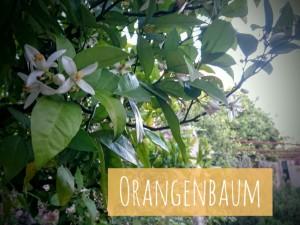 Oranbenbaum