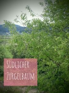 SüdlicherZürgelbaum