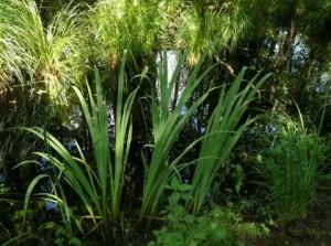 DarßSumpfschwertlilie
